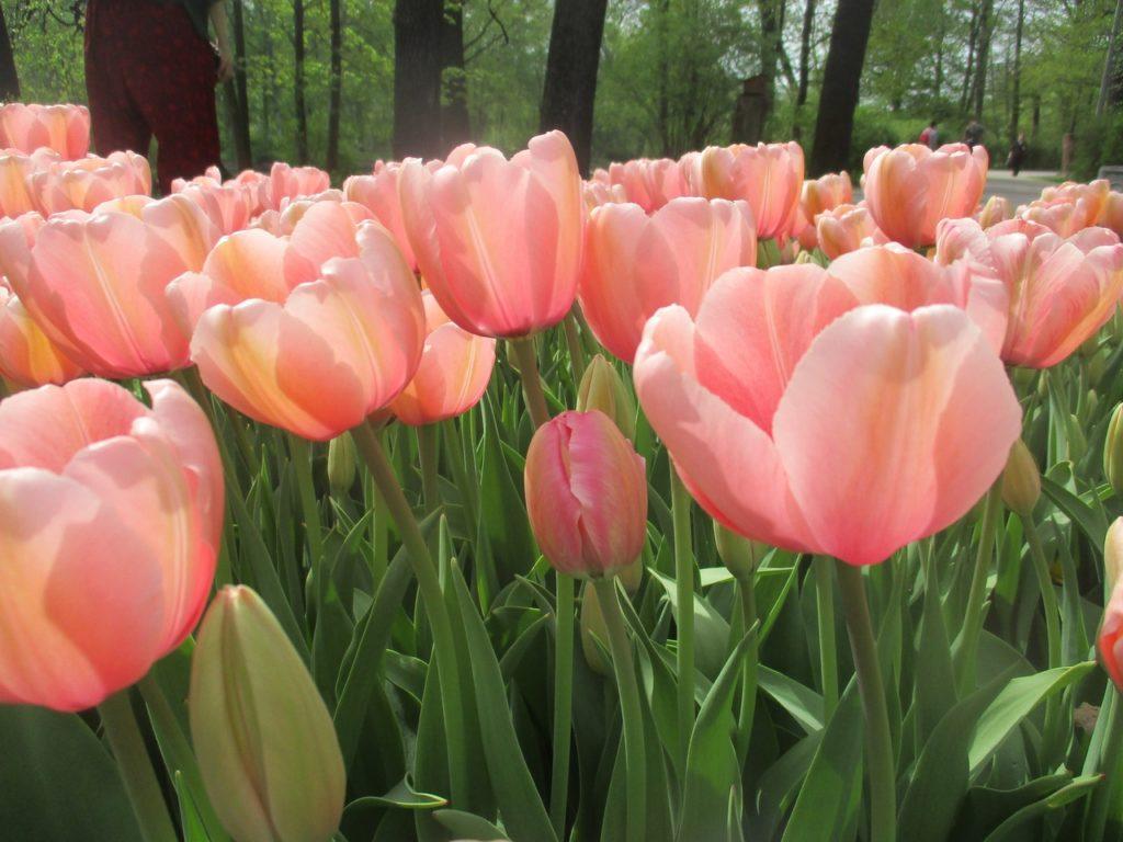 Фестиваль тюльпанов в Петербурге